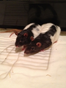 Two hooded female rats.